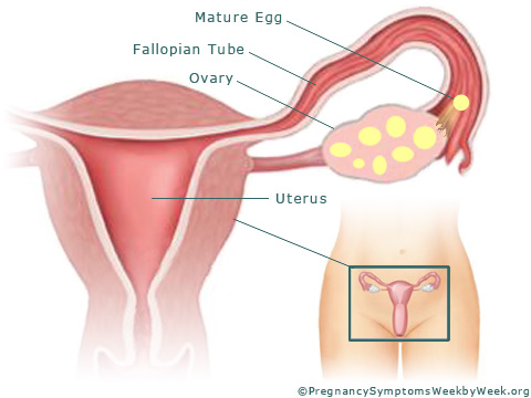 Pregnancy week 2 female reproductive organs